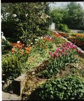 Gärtnerei Willeke Hilkenbach, Tulpenbeet, Gemüsepflanze